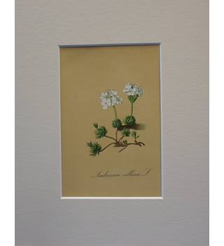 vintage mounted botanical print : Androsace Villosa L. Villous Androsace