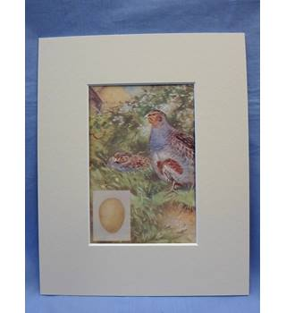 British Birds: grey partridge